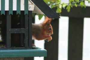Eichhörnchen im Vogelhaus