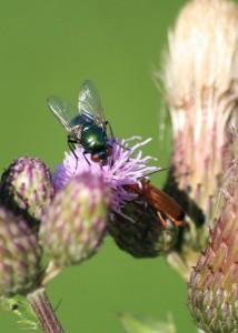 Fliege auf Blume