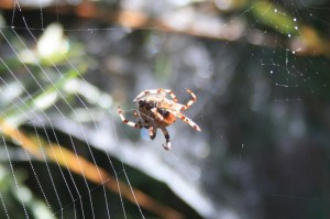 Spinne im Spinnennetz