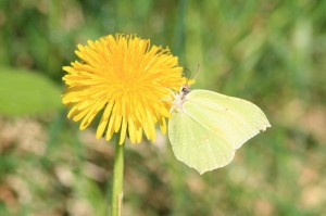 Zitronen-Schmetterling