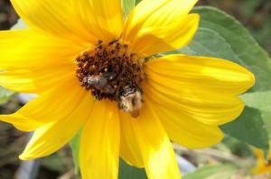 Biene und Fliege auf einer Sonnenblume