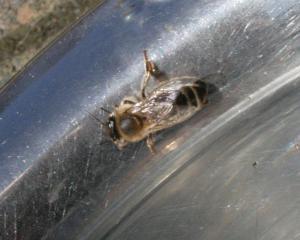 Biene 1 Bild 08
