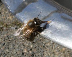 Bienchen am Wassernapf Bild 01