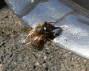 Bienchen am Wassernapf Bild 02