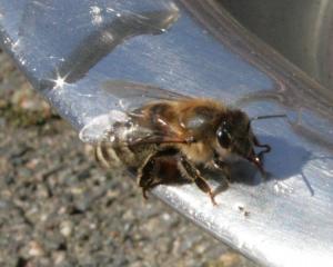 Bienchen am Wassernapf Bild 03