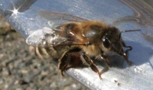 Bienchen am Wassernapf Bild 04