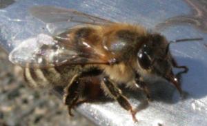 Bienchen am Wassernapf Bild 06