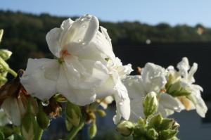 Blume-Pflanzen 2017 Bild 11