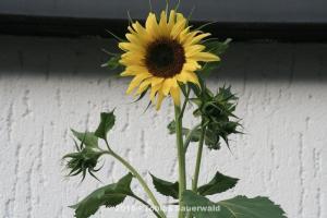 Sonnenblumen-Bilder